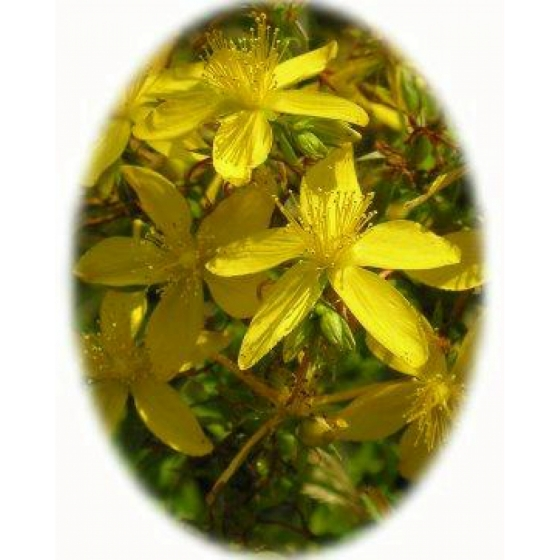 COMMON ST JOHN`S WORT seeds (hypericum perforatum)