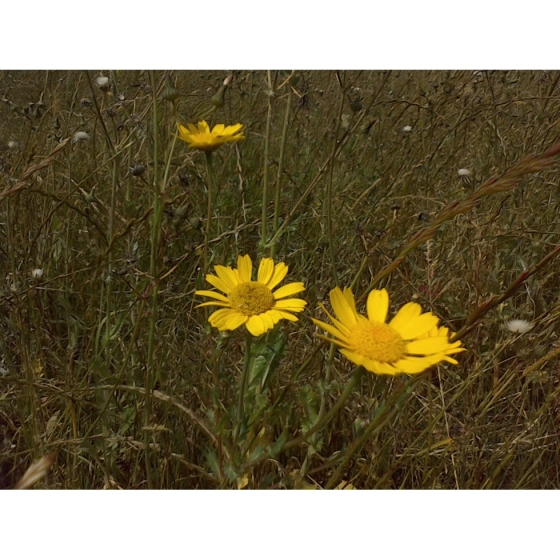 CORN MARIGOLD seeds (chrysanthemum segtum)