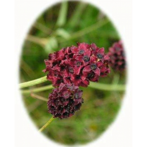 GREAT BURNET seeds (sanguisorba officinalis)