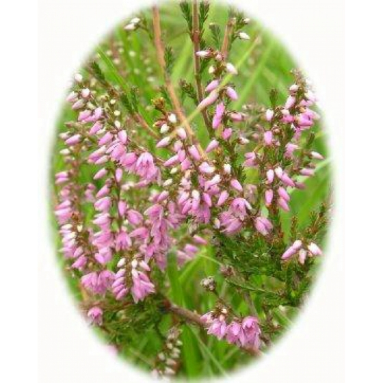 HEATHER seeds (calluna vulgaris)