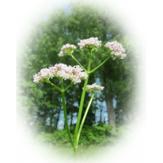COMMON VALERIAN seeds (Valeriana officinalis)