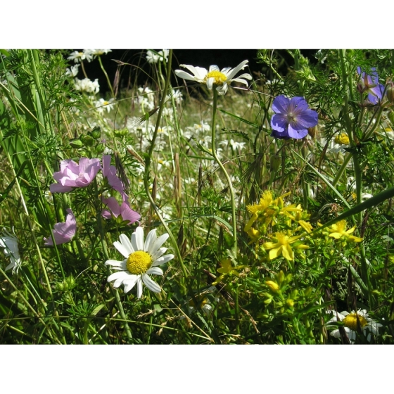 General Purpose Meadow seed mix -Wildflower and Grass Mix