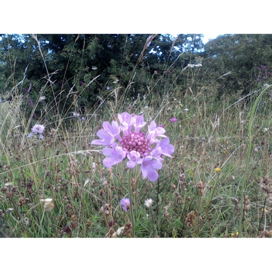 SMALL SCABIOUS seeds (scaboisa columbaria)