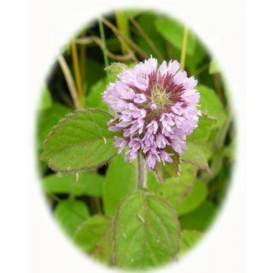 WATER MINT seeds (mentha aquatica)