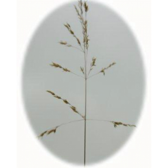 Yellow Oatgrass (trisetum flavescens)