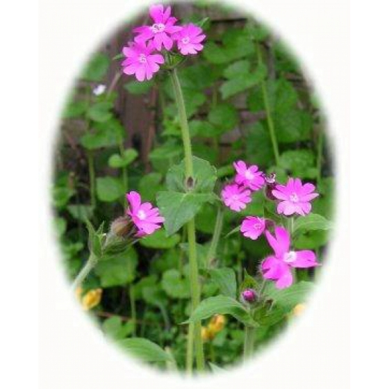 RED CAMPION plugs (silene dioica)