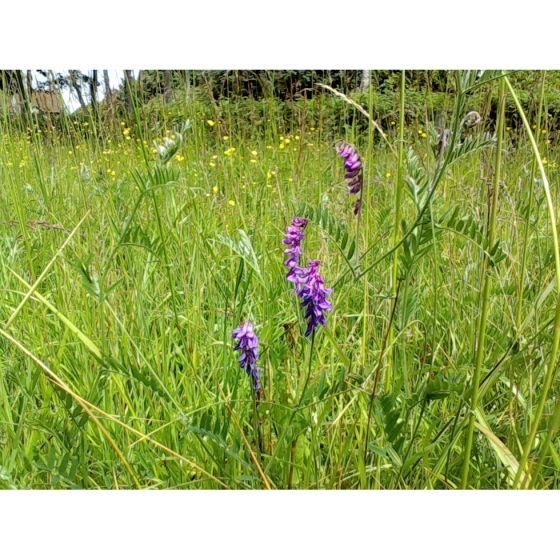 TUFTED VETCH plugs (vicia cracca)