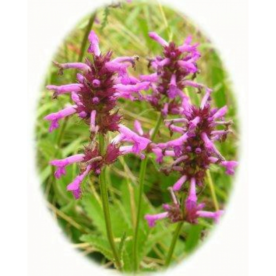 BETONY seeds (stachys officinalis)