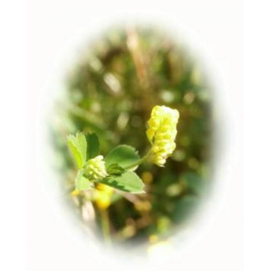 BLACK MEDICK seeds (medicago lupulina)