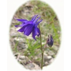 view details of CLUSTERED BELLFLOWER seeds (campanula glomerata)