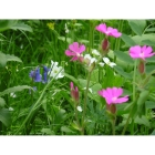 Meadow mix for Woodland and Hedgerows -Wildflower and Grass mix
