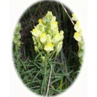 COMMON TOADFLAX seeds (linaria vulgaris)