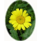 view CORN MARIGOLD seeds (chrysanthemum segtum) details