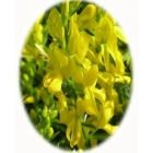 DYER`S GREENWEED seeds (genista tinctoria)