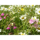 view details of Honey Bee Meadow mix -Wildflower and Grass seed Mixture