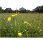 Meadow mix for Clay Soils -Wildflower and Grass seed Mix
