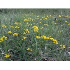 HORSESHOE VETCH seeds (hippocrepis comosa)