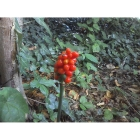 LORDS AND LADIES seeds (arum maculatum)