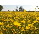 MEADOW BUTTERCUP seeds (ranunculus acris)