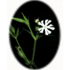 view NIGHT FLOWERING CATCHFLY seeds (silene noctiflora) details