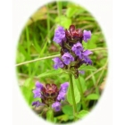 view SELF HEAL seeds (prunella vulgaris) details
