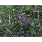 SELF HEAL seeds (prunella vulgaris)