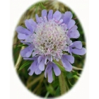 view SMALL SCABIOUS seeds (scaboisa columbaria) details