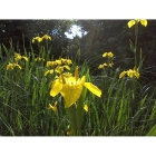 YELLOW FLAG IRIS seeds (iris pseudaconus)