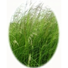 Tufted Hairgrass (deschampsia cespitosa)