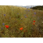 Red Haze annual wildflower seeds