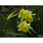 Wild Daffodil bulbs (narcissus pseudonarcissus)