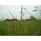 view details of Tussock forming Meadow grass mix (100% Meadow Grass mix)