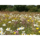Wet Soil Wildflowers- 100% wild flower seed mix