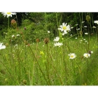 view details of Pond Edge Wildflowers- 100% wild flower seed mix