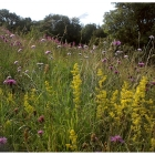 Chalk and Limestone Wildflowers- 100% wild flower seed mix