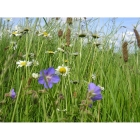 view details of Pale Blue Mist annual wildflower seeds