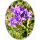 CLUSTERED BELLFLOWER seeds (campanula glomerata)